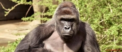 Harambe, the 17-year-old gorilla shot and killed at the Cincinnati Zoo.