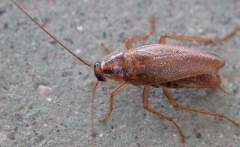 Blattella germanica, or German cockroaches